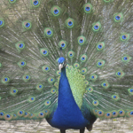 Peacock at Castle Howard